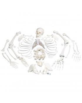 İskelet Modeli, Montajı Yapılmamış, 3 Parçalı Komple Kafatasıyla