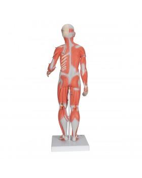 Kas Modeli, İki Cinsiyetli İç Organlarla Birlikte, 33 Parçalı