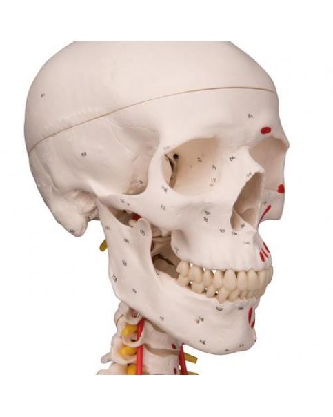 İskelet Modeli, Kasları ve Ligamentleri Gösteren, Gerçek Boy