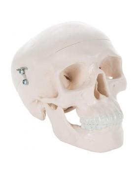 Mini Kafatası Modeli, 3 Parçalı