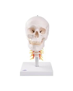 Kafatası Modeli, Boyun Omurları Üzerinde, 4 Parçalı