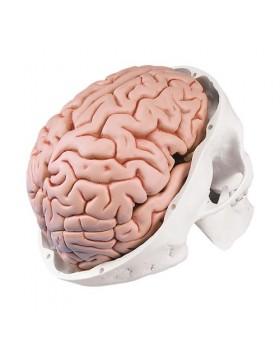 Kafatası Modeli, Beyinle Birlikte, 8 Parçalı
