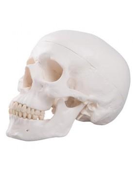Kafatası Modeli, 3 Parçalı
