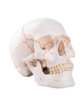 Kafatası Modeli, Numaralandırılmış, 3 Parçalı