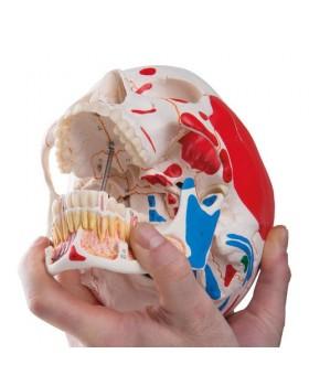 Renkli Kafatası Modeli, Açık Mandibulalı, 3 Parçalı