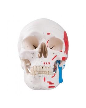 Renkli Kafatası Modeli, 3 Parçalı
