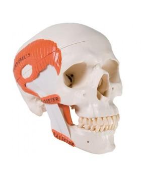 Fonksiyonel Kafatası Modeli, Çiğneme Kaslarıyla, 2 Parçalı