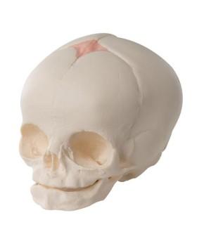 Fetal Kafatası Modeli