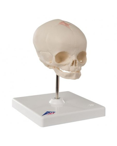 Fetal Kafatası Modeli, Standlı