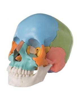 Renkli Kafatası Modeli, 22 Parçalı