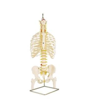 Göğüs Kafesi İle Birlikte Esnek Omurga ve Uyluk Kütükleri Modeli