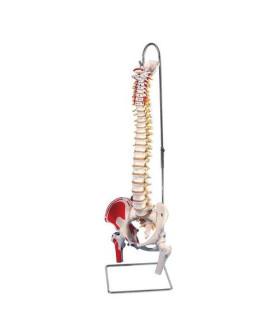 Kasları Gösteren Esnek Omurga Modeli, Uyluk Kütüğüyle