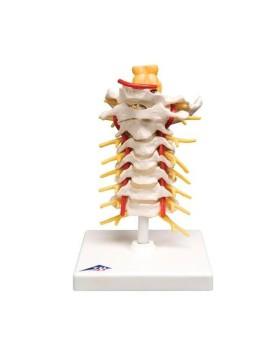 Boyun Omurları Modeli