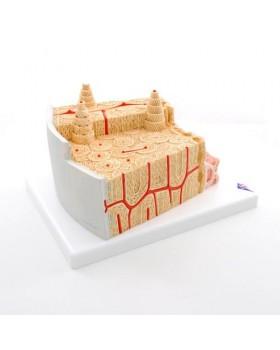 MICROanatomy™ Kemik Yapısı Modeli, 80 Kat Büyütülmüş