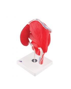 Kaslı Kalça Eklemi Modeli, 7 Parçalı
