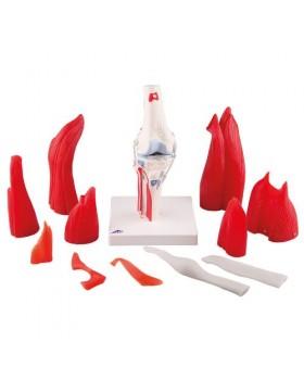 Kaslı Diz Eklemi Modeli, 12 Parçalı