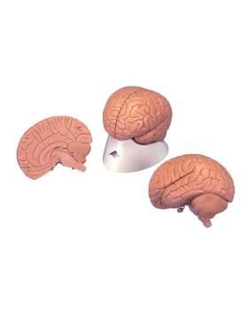 Beyin Modeli, Stand İle Birlikte, 2 Parçalı