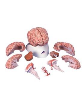 Arterli Beyin Modeli, 9 Parçalı