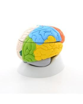 Beyin Modeli, Nöro anatomik, 8 Parçalı