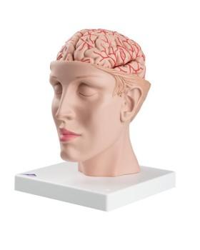 Arterli Beyin Modeli, Baş Üstünde, 8 Parçalı