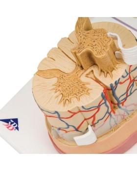Sinir Uçlarıyla Birlikte Omurilik Modeli