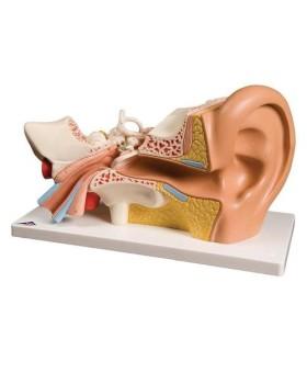 Kulak Modeli, 3 Kat Büyütülmüş, 4 Parçalı