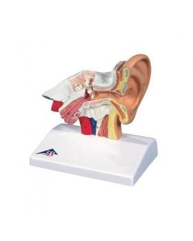 Kulak Masa Modeli, 1.5 Kat Büyütülmüş