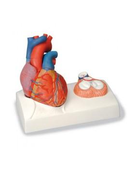 Manyetik Kalp Modeli, Doğal Boyut, 5 Parçalı