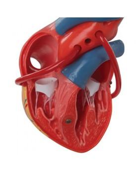 Baypaslı Kalp Modeli, 2 Parçalı