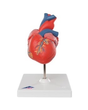 Kalp Modeli, 2 Parçalı