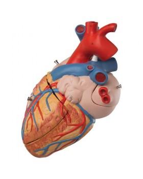 Kalp Modeli, 2 Kat Büyütülmüş, 4 Parçalı