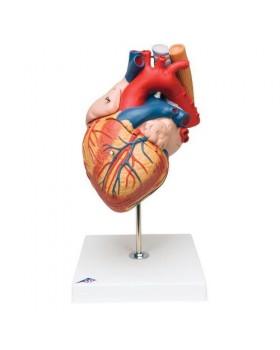 Kalp Modeli, Nefes ve Yemek Borosuyla Birlikte, 2 Kat Büyütülmüş, 5 Parçalı