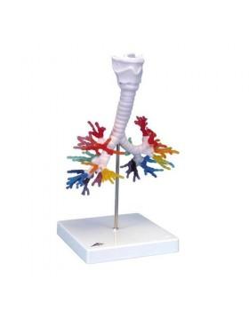Akciğer Bronş Modeli, Gırtlak İle Birlikte