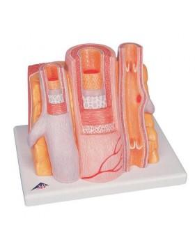 MICROanatomy™ Arterler ve Venler, 14 Kat Büyütülmüş