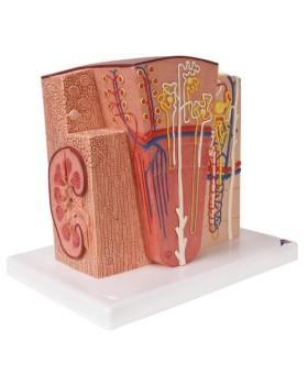 MICROanatomy™ Böbrek Modeli