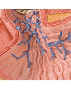 Yemek Borusu Hastalıkları Modeli
