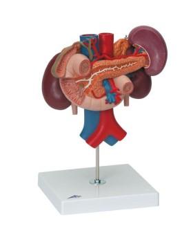 Arka Üst Karın Organlarına Sahip Böbrekler, 3 Parçalı