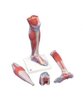 Kaslı Alt Bacak Modeli, 3 Parçalı