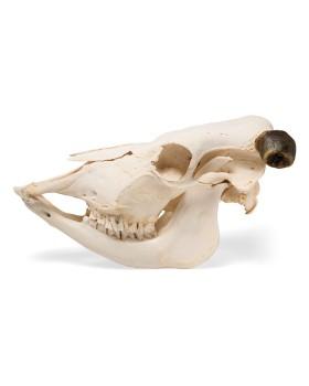İnek Kafatası Modeli, Boynuzlu