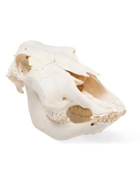 İnek Kafatası Modeli, Boynuzsuz