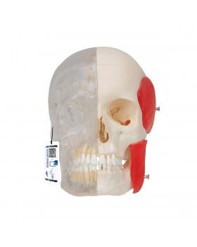 Şeffaf / Kemikli Kombi Kafatası Modeli, 8 Parçalı