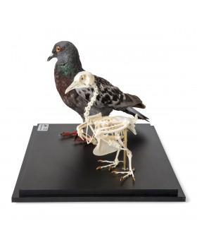 Güvercin ve Güvercin İskelet Modeli