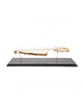 Kedi Balığı İskelet Modeli