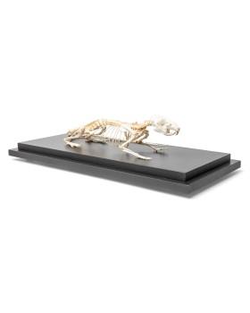 Sıçan İskelet Modeli