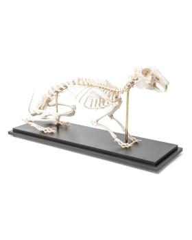 Tavşan İskelet Modeli