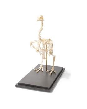 Tavuk İskelet Modeli