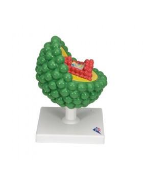 HIV Modeli