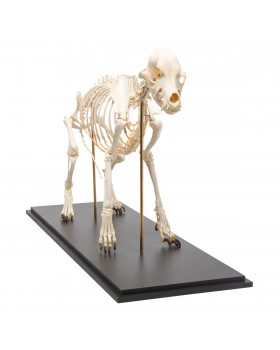 Köpek İskelet Modeli, L, Rigidly Mounted