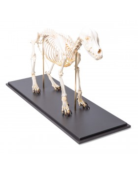 Köpek İskelet Modeli, M, Rigidly Mounted