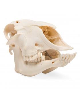 Koyun Kafatası Modeli